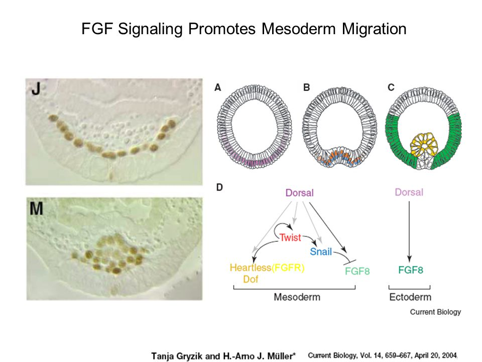 FGF Signaling Promotes Mesoderm Migration