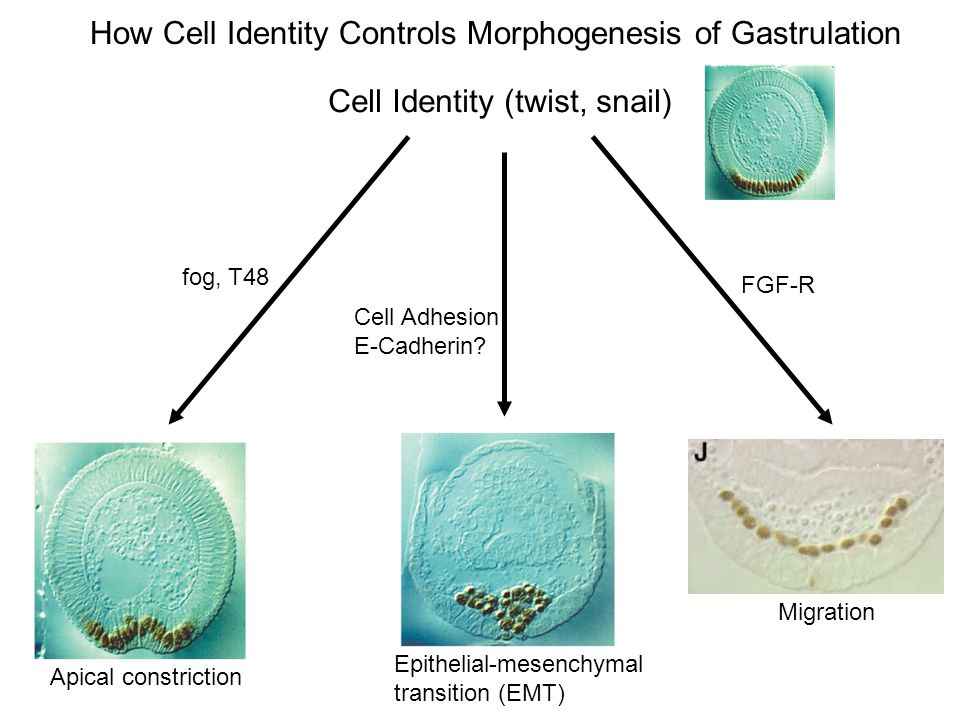 How Cell Identity Controls Morphogenesis of Gastrulation
