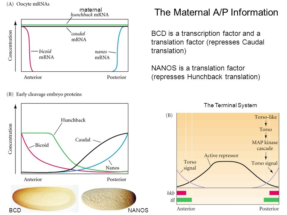 The Maternal A/P Information