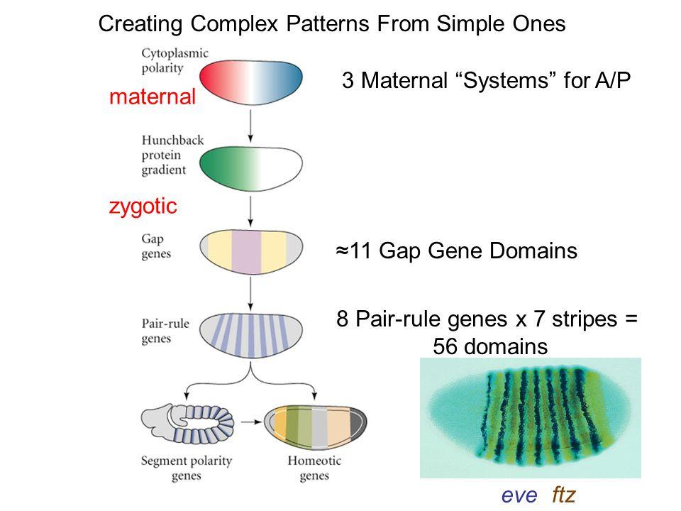 8 Pair-rule genes x 7 stripes =