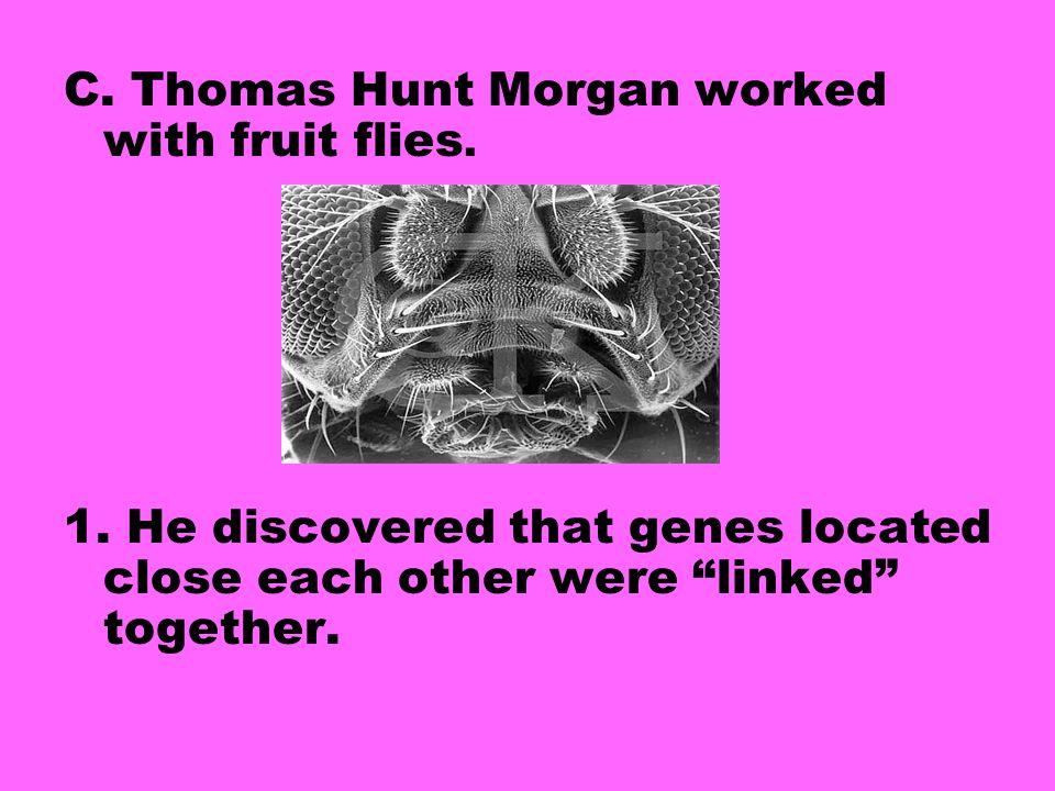 C. Thomas Hunt Morgan worked with fruit flies.