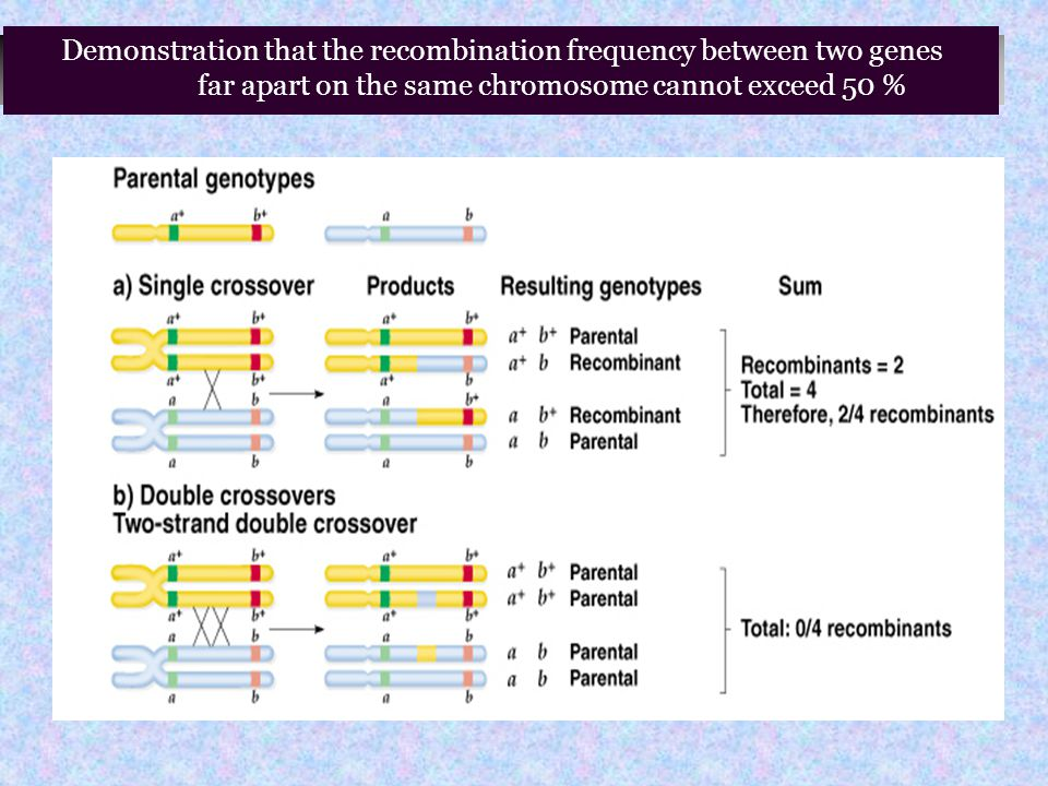 Demonstration that the recombination frequency between two genes