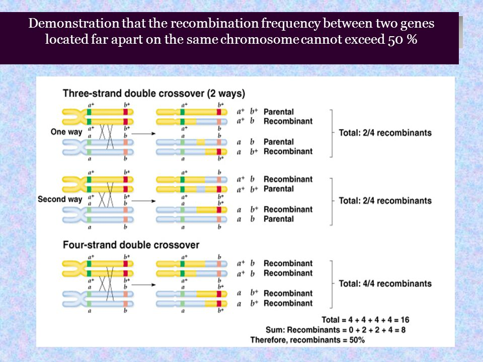 Demonstration that the recombination frequency between two genes located far apart on the same chromosome cannot exceed 50 %