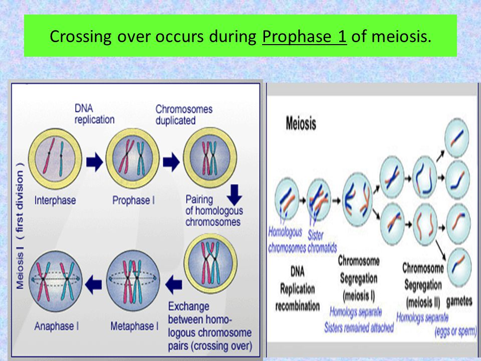 Crossing over occurs during Prophase 1 of meiosis.