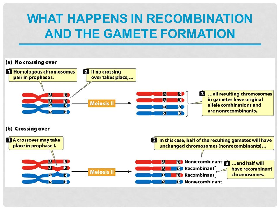 What happens in recombination and the gamete formation