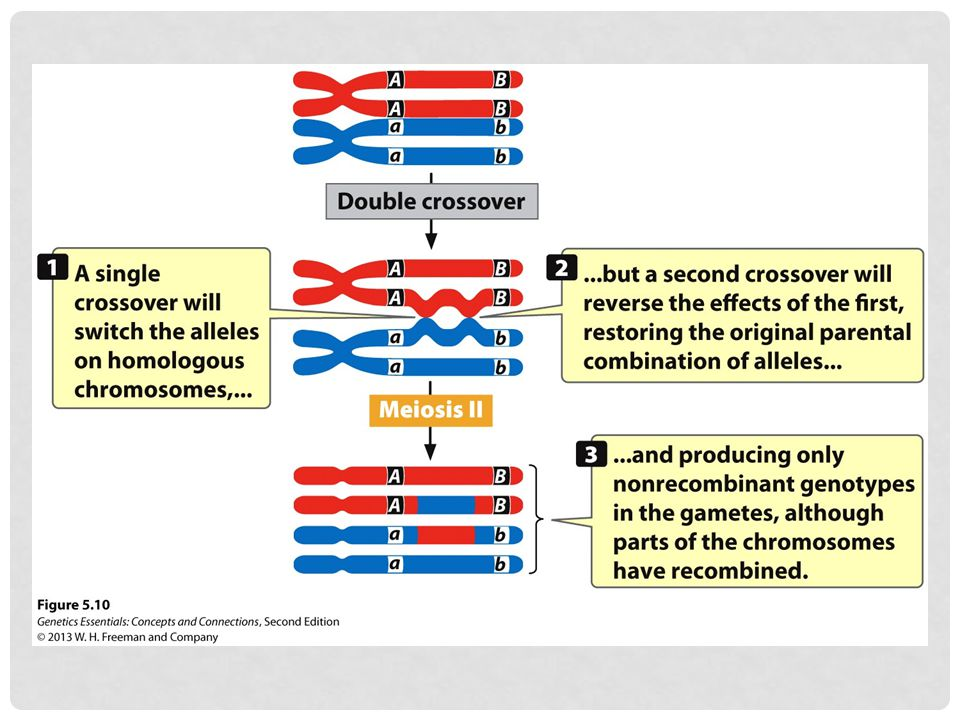 Figure 5.10 A two-strand double crossover between two linked genes produces only nonrecombinant gametes.