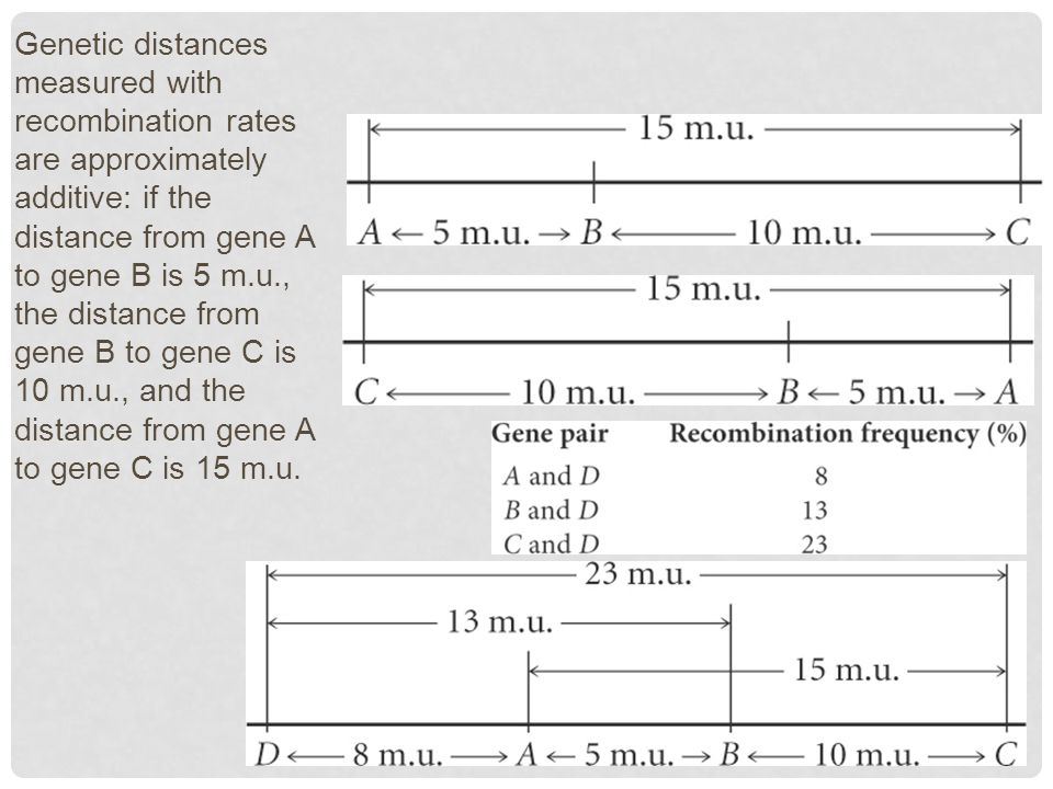 Genetic distances measured with recombination rates are approximately additive: if the distance from gene A to gene B is 5 m.u., the distance from gene B to gene C is 10 m.u., and the distance from gene A to gene C is 15 m.u.