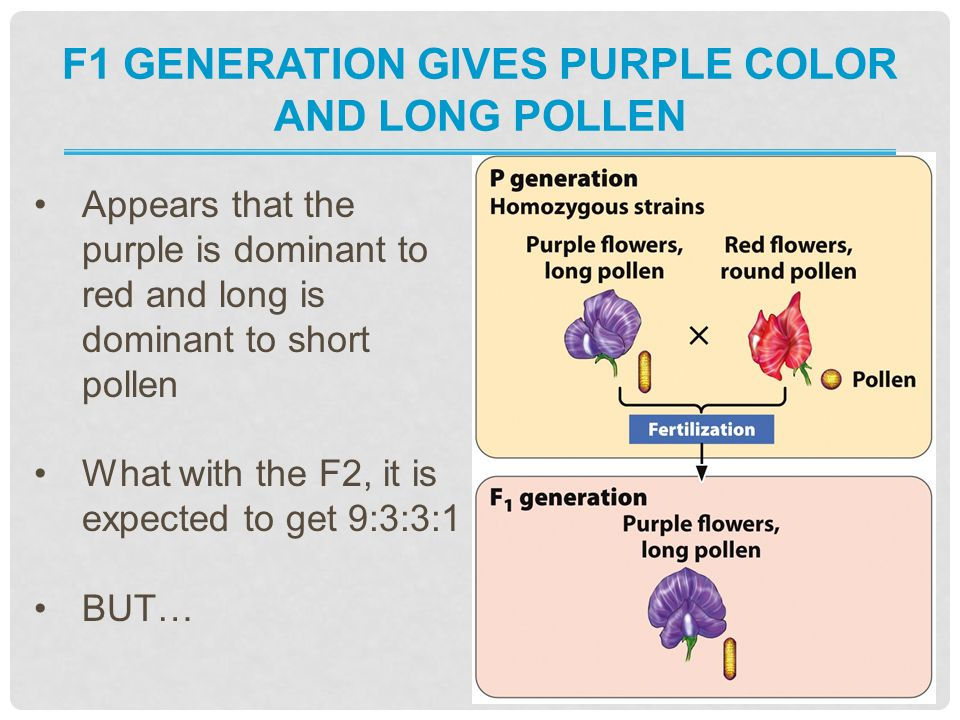F1 generation gives purple color and long pollen