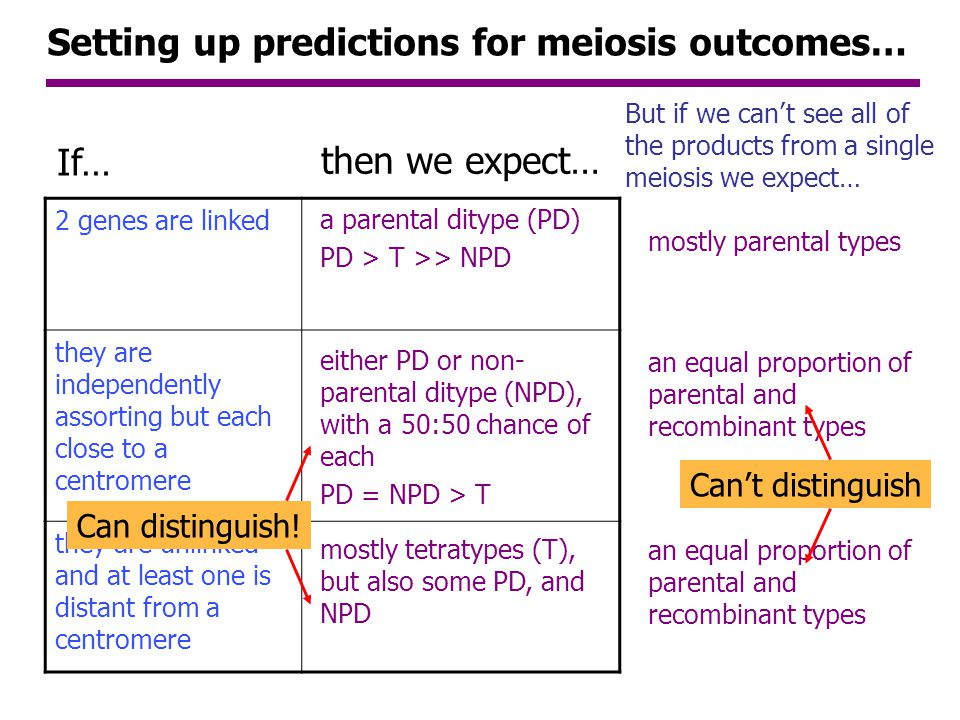 Setting up predictions for meiosis outcomes…