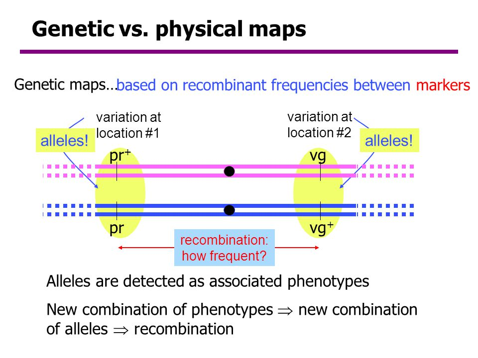 Genetic vs. physical maps
