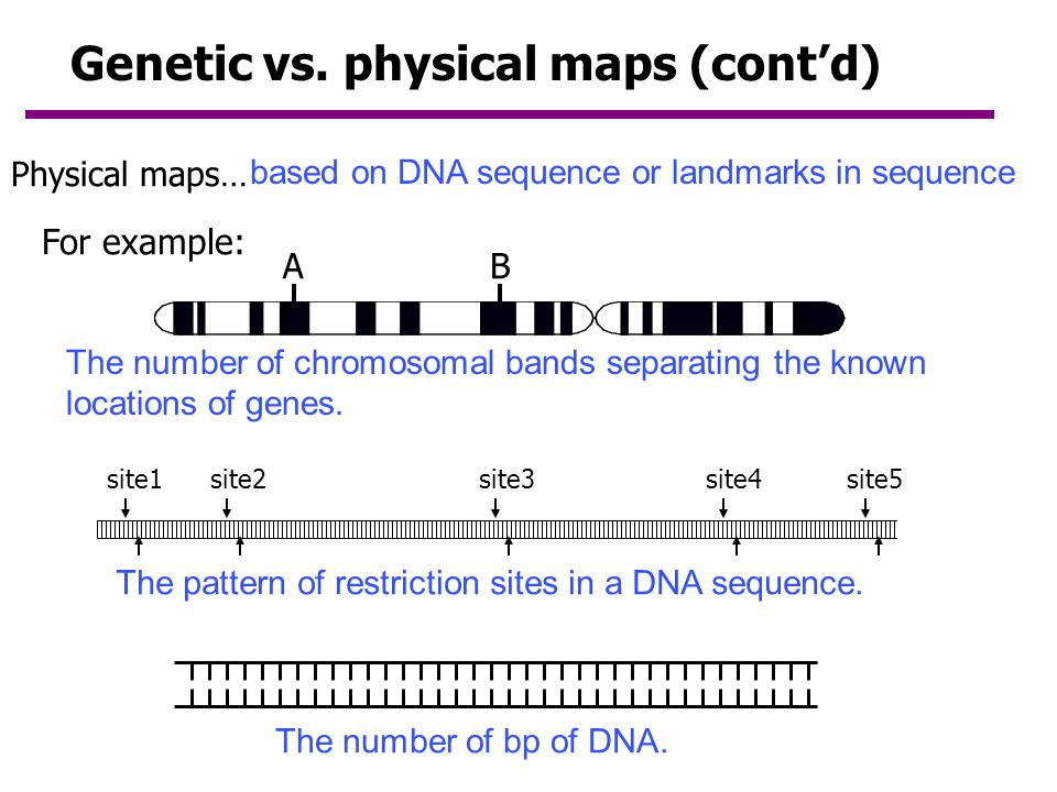 Genetic vs. physical maps (cont'd)