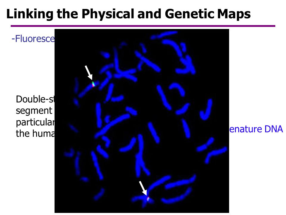 Linking the Physical and Genetic Maps
