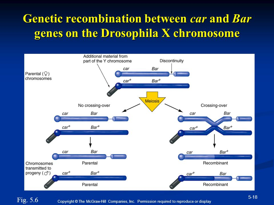 Genetic recombination between car and Bar genes on the Drosophila X chromosome