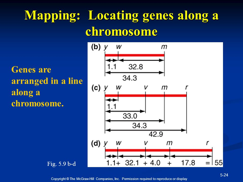Mapping: Locating genes along a chromosome
