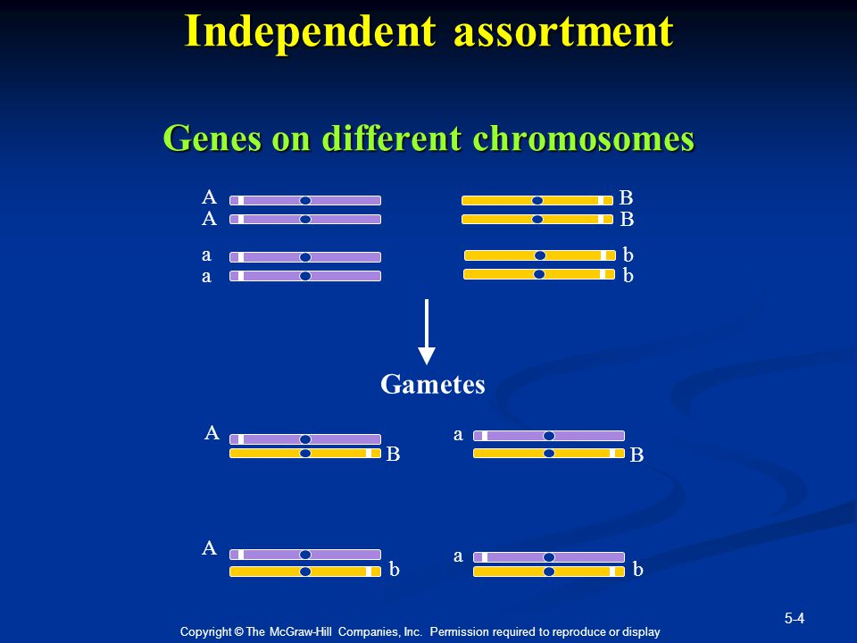 Independent assortment Genes on different chromosomes