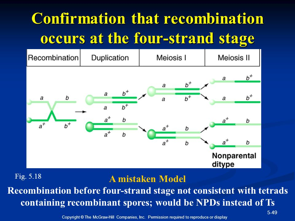 Confirmation that recombination occurs at the four-strand stage