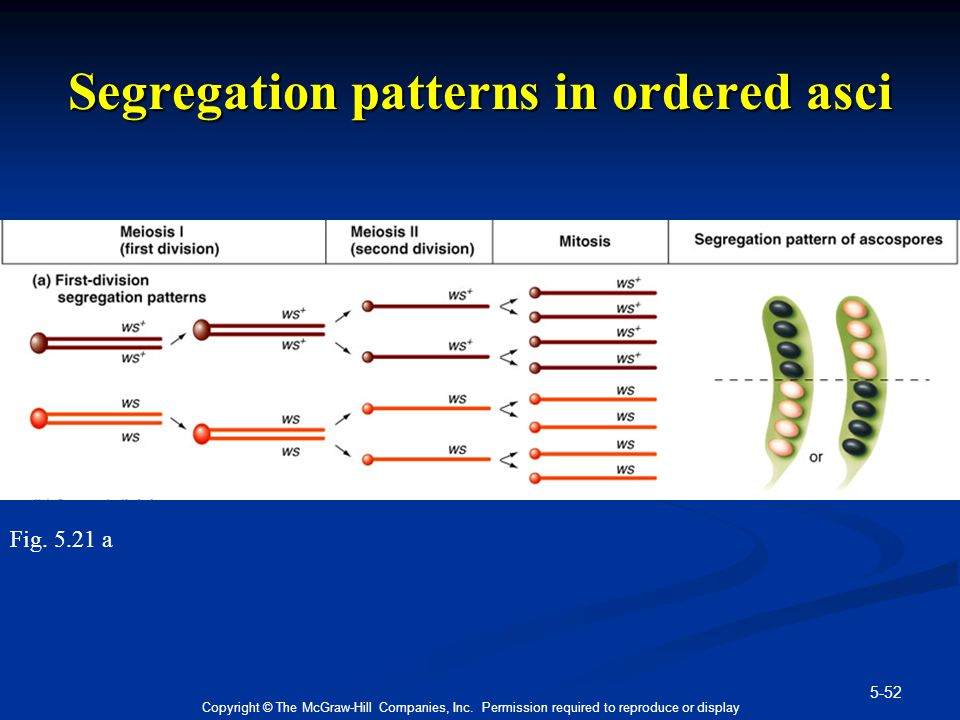 Segregation patterns in ordered asci