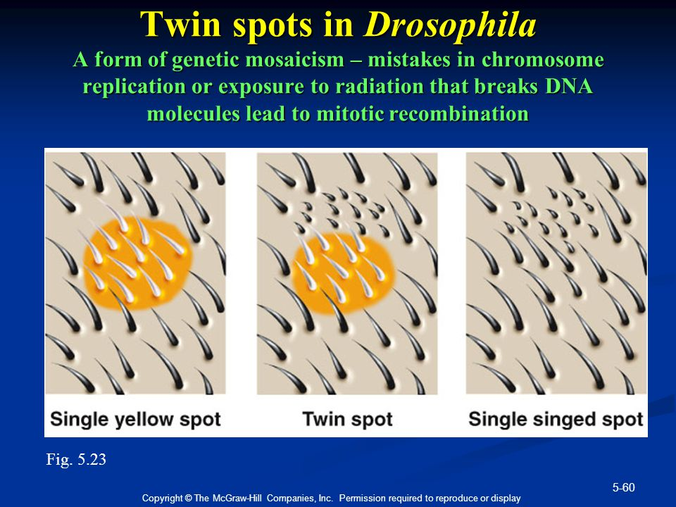 Twin spots in Drosophila A form of genetic mosaicism – mistakes in chromosome replication or exposure to radiation that breaks DNA molecules lead to mitotic recombination