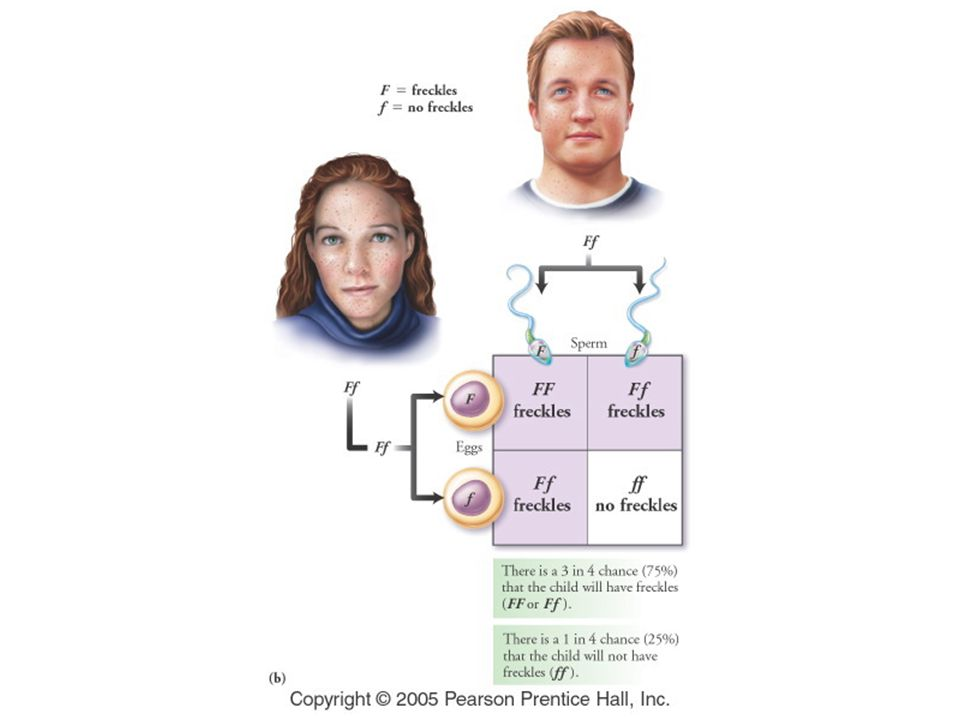 Figure: 20-05b Title: Heterozygous parents and freckles. Caption: