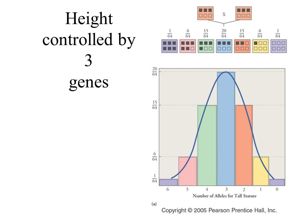 Height controlled by 3 genes