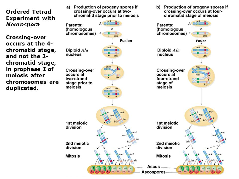 Ordered Tetrad Experiment with Neurospora
