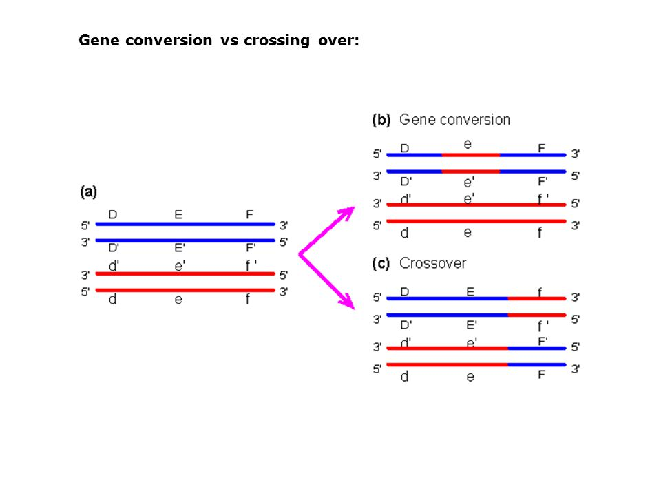 Gene conversion vs crossing over: