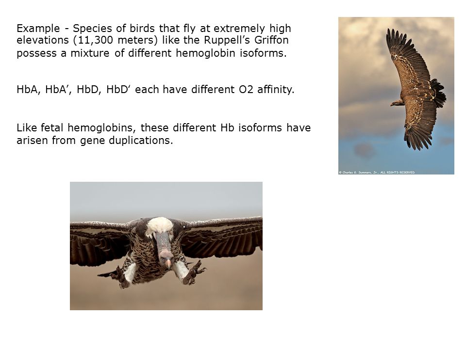 Example - Species of birds that fly at extremely high elevations (11,300 meters) like the Ruppell's Griffon possess a mixture of different hemoglobin isoforms.
