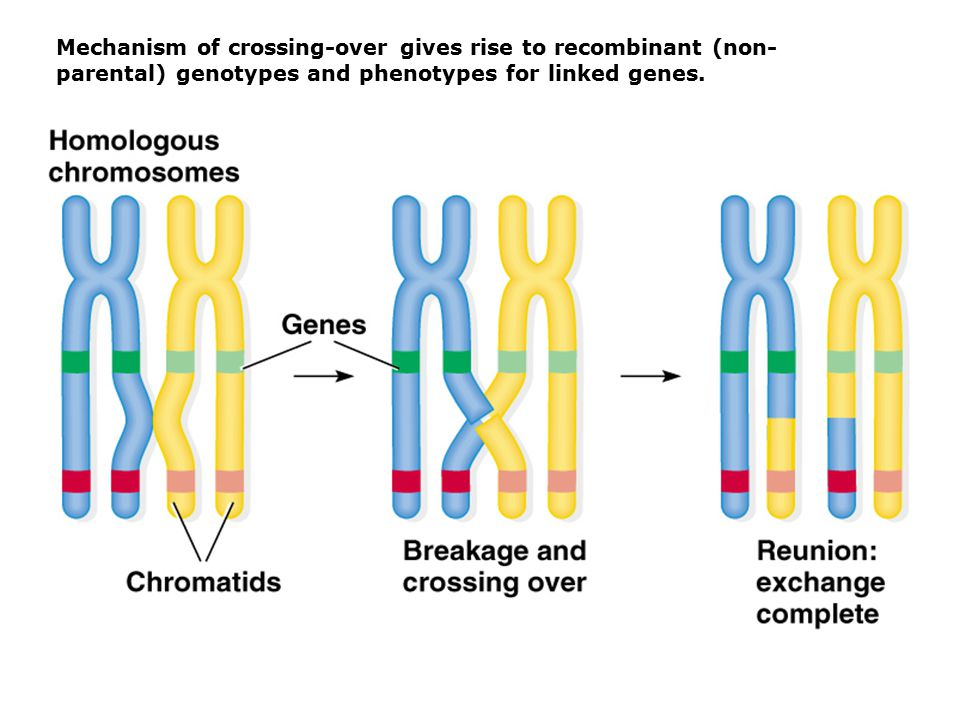 Mechanism of crossing-over gives rise to recombinant (non-parental) genotypes and phenotypes for linked genes.