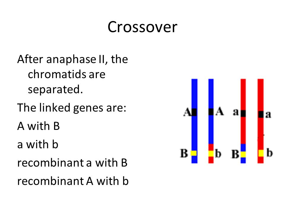 Crossover After anaphase II, the chromatids are separated.