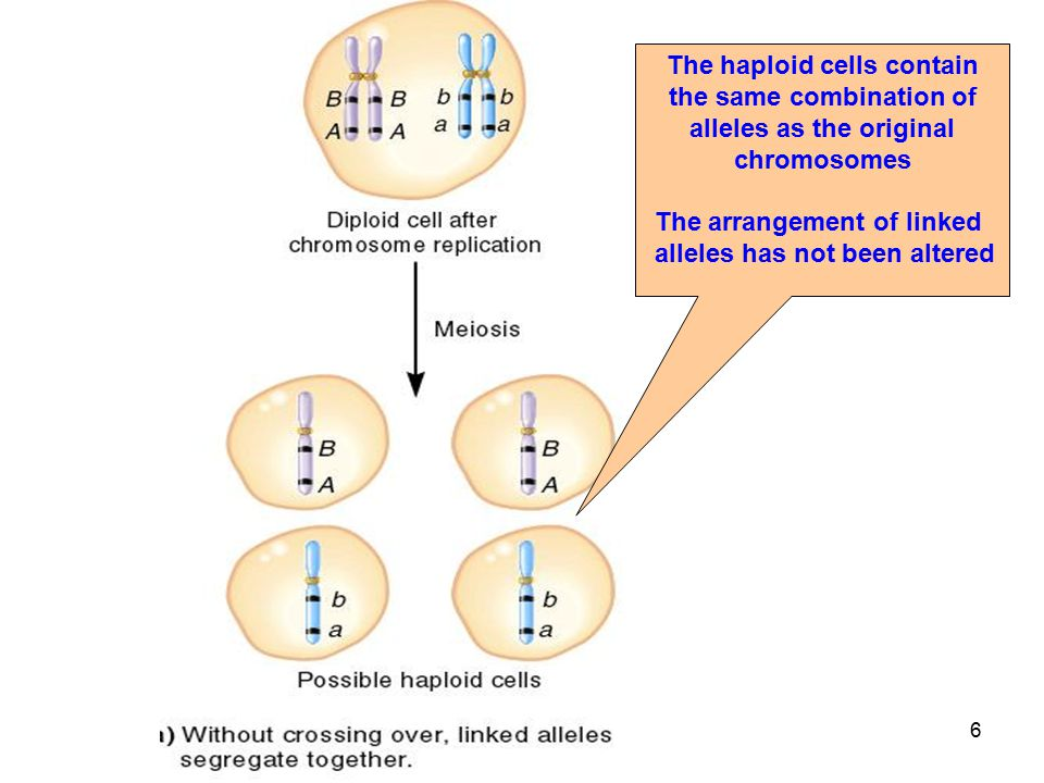 The haploid cells contain the same combination of alleles as the original chromosomes