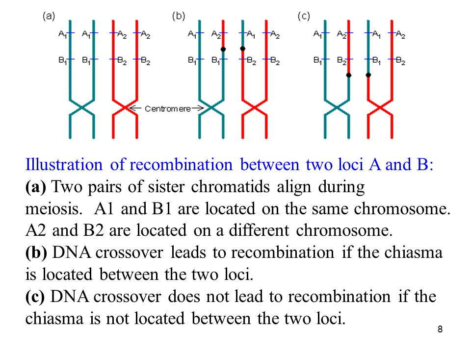 Illustration of recombination between two loci A and B: (a) Two pairs of sister chromatids align during meiosis. A1 and B1 are located on the same chromosome. A2 and B2 are located on a different chromosome.