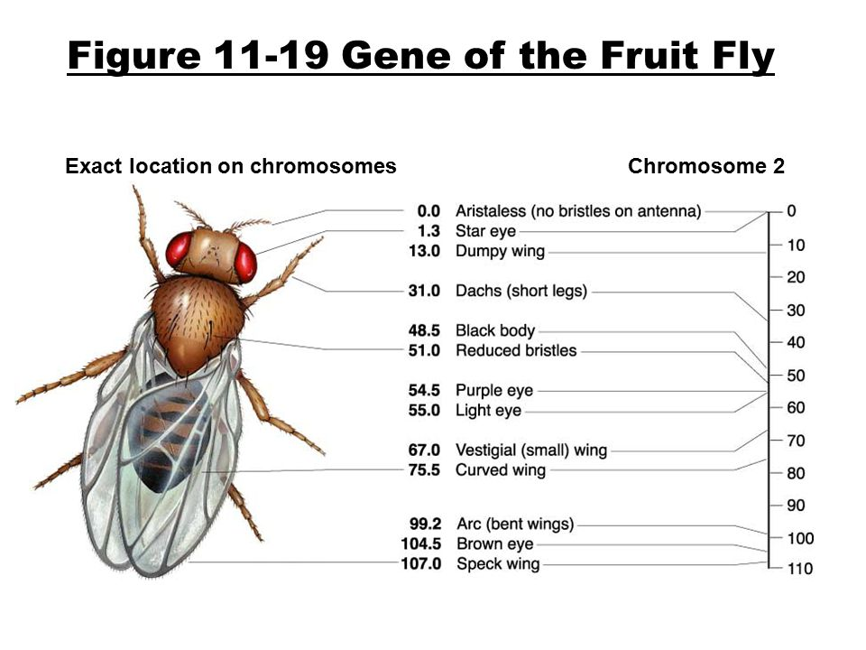 Figure 11-19 Gene of the Fruit Fly