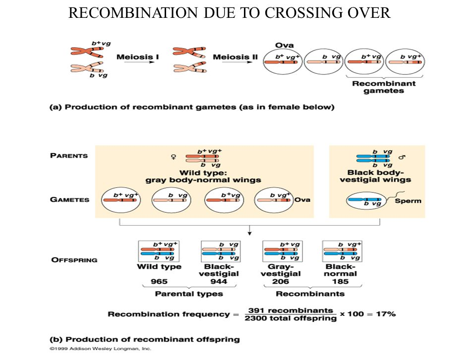 RECOMBINATION DUE TO CROSSING OVER