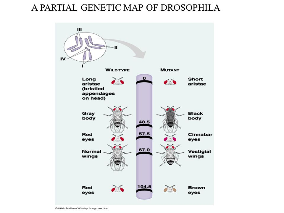 A PARTIAL GENETIC MAP OF DROSOPHILA