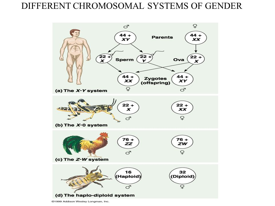 DIFFERENT CHROMOSOMAL SYSTEMS OF GENDER