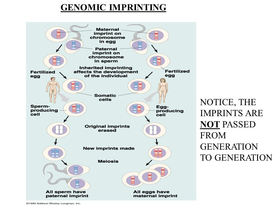 GENOMIC IMPRINTING NOTICE, THE IMPRINTS ARE NOT PASSED FROM GENERATION TO GENERATION