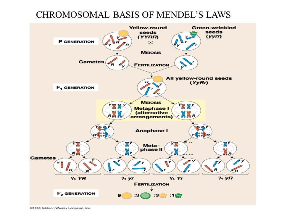 CHROMOSOMAL BASIS OF MENDEL'S LAWS