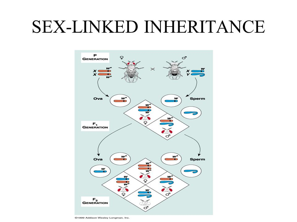 SEX-LINKED INHERITANCE