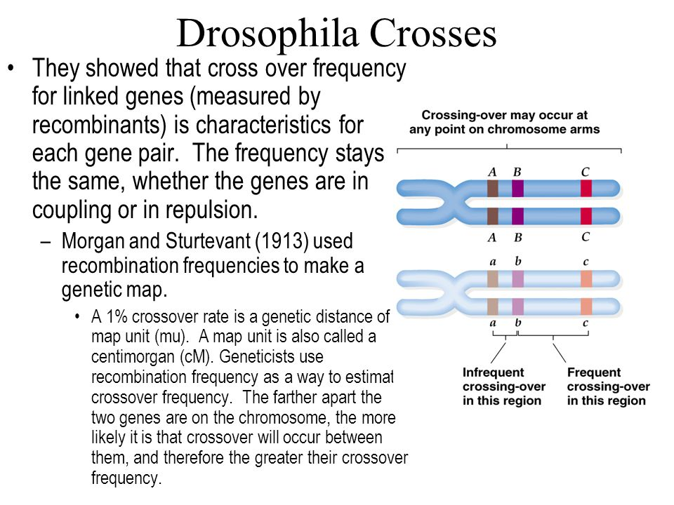 Drosophila Crosses