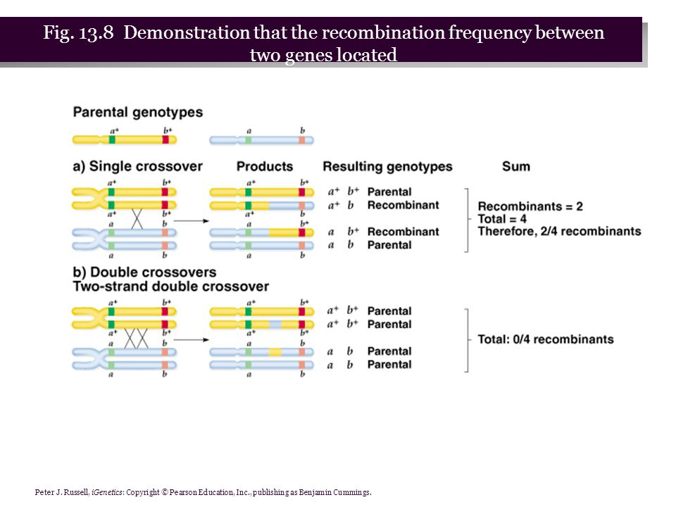 Fig. 13.8 Demonstration that the recombination frequency between two genes located far apart on the same chromosome cannot exceed 50 percent