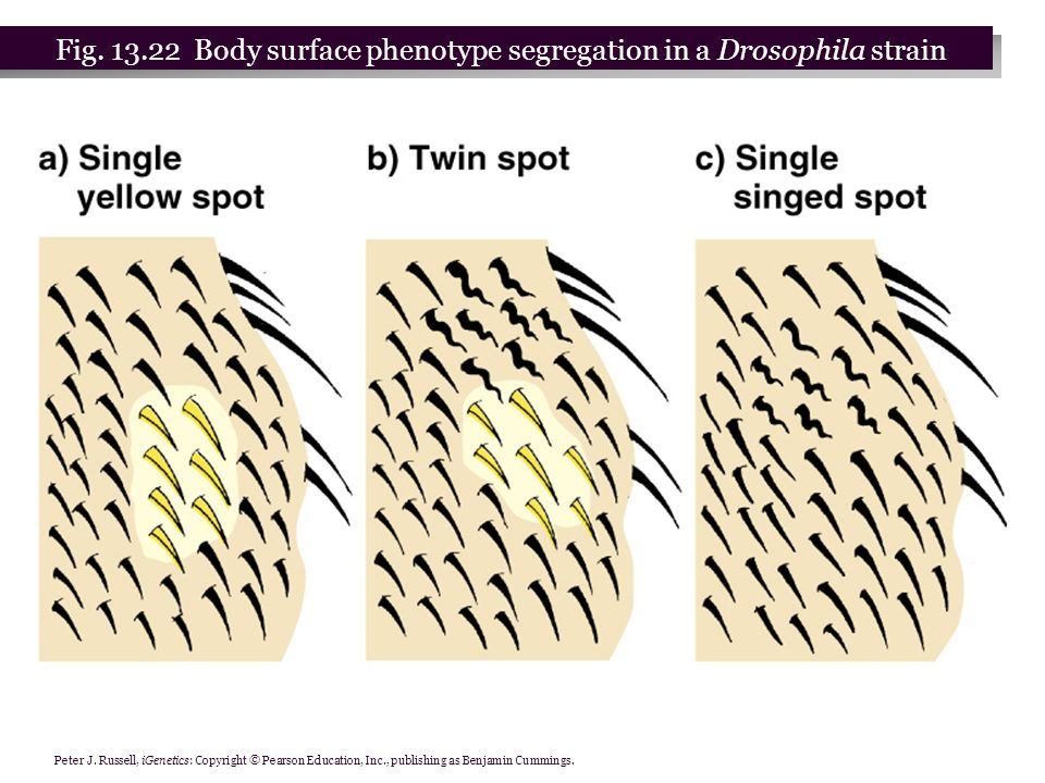 Fig. 13.22 Body surface phenotype segregation in a Drosophila strain