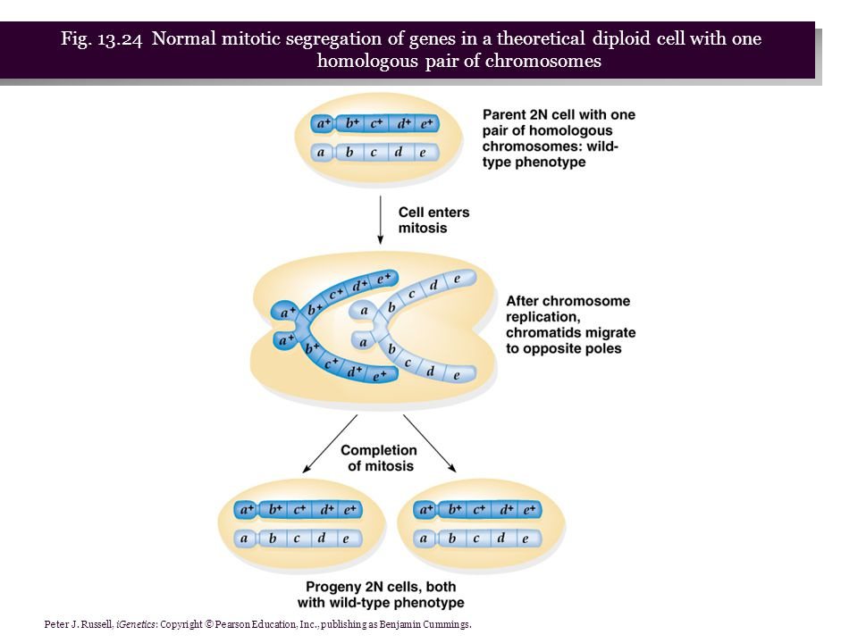 Fig. 13.24 Normal mitotic segregation of genes in a theoretical diploid cell with one homologous pair of chromosomes