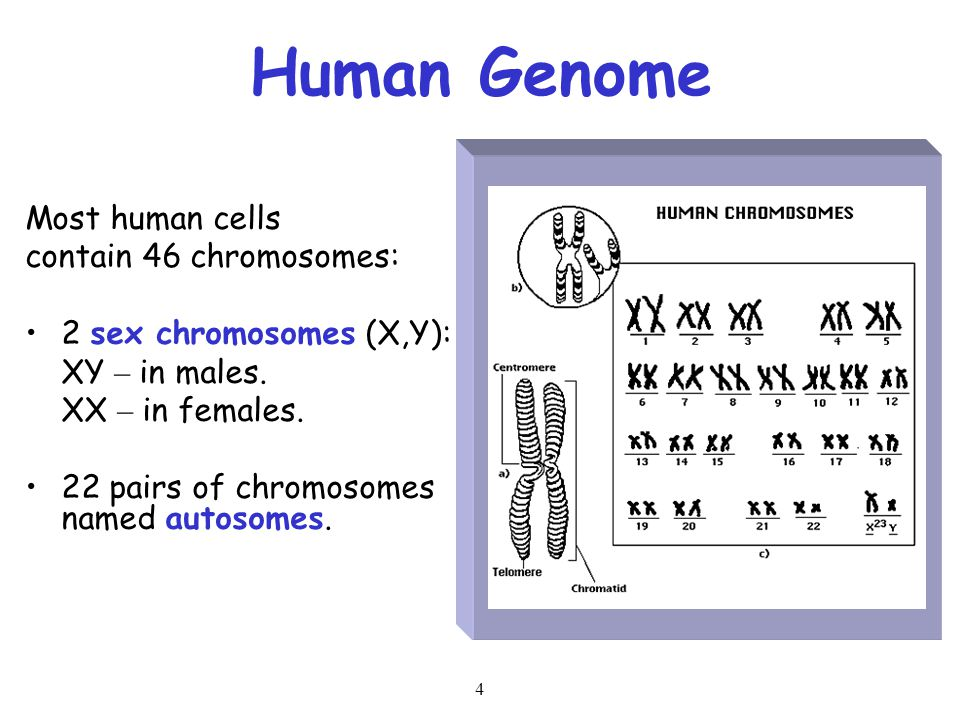 Human Genome Most human cells contain 46 chromosomes: