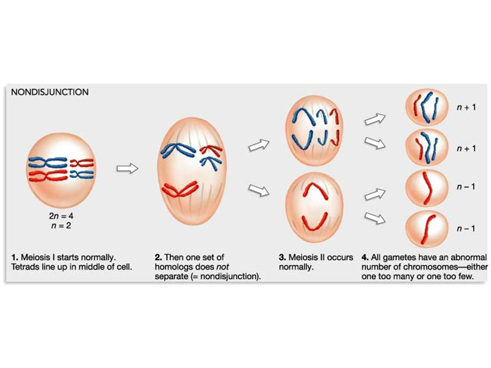 non-disjunction can lead to changes in chromosome number.