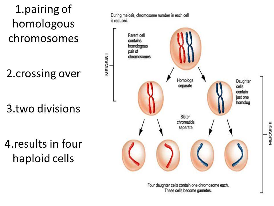1.pairing of homologous chromosomes