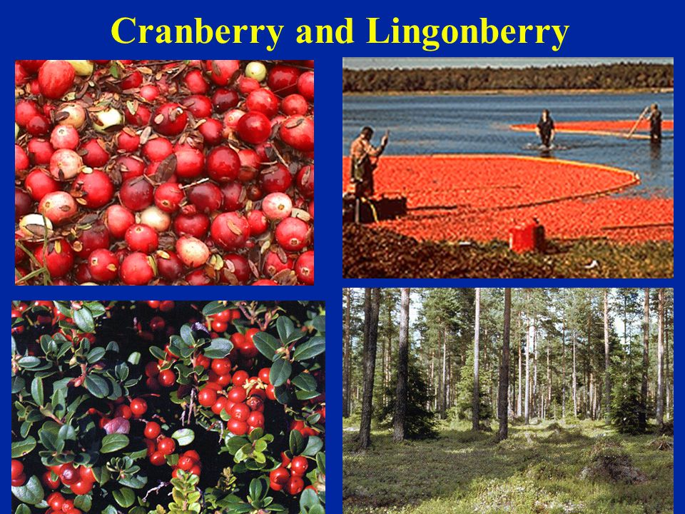 Cranberry and Lingonberry