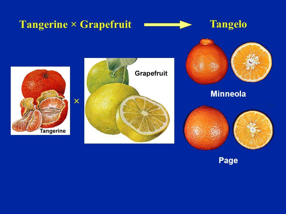 Tangerine × Grapefruit