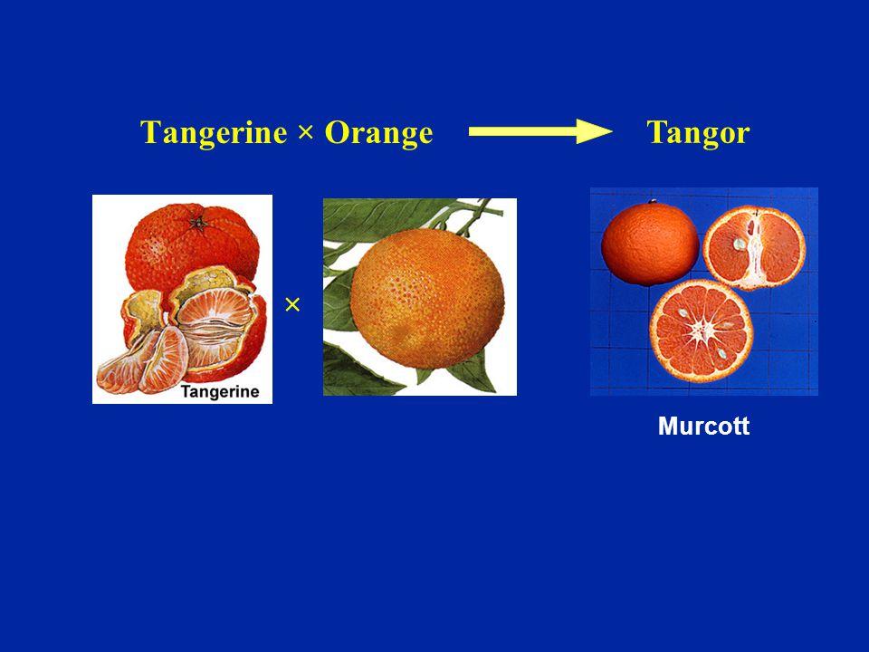 Tangerine × Orange Tangor