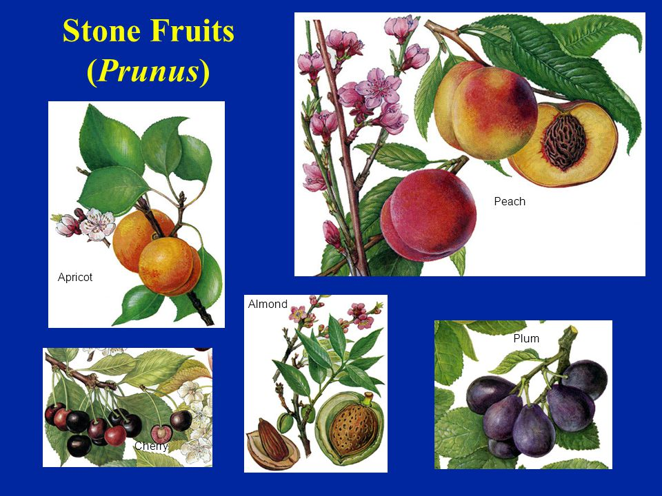 Stone Fruits (Prunus) Peach Apricot Almond Plum Cherry