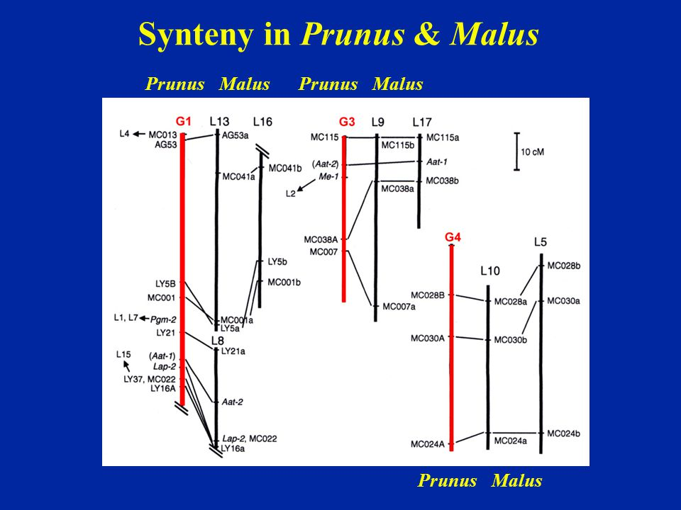 Synteny in Prunus & Malus